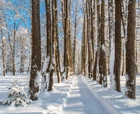 Linden alley in winter Royalty Free Stock Photography