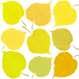 Linden autumn leaves Stock Photography