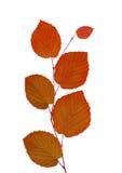 Linden autumn leaves isolated on white background Royalty Free Stock Image