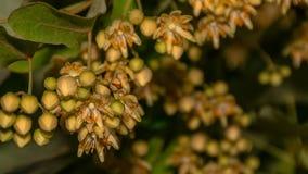 Linden blommar i vår Arkivfoto