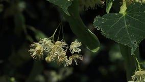 Linden blommar på ett träd blommar lindentreen stock video