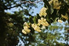 Linden blomstrar på ett träd i skogen under vårhimlen Royaltyfri Foto