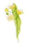 Linden blooming flowers Stock Image