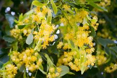 Linden blooms in summer, blooming linden, flowers of linden hone Royalty Free Stock Photos