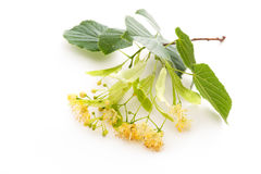 Linden blossom Royalty Free Stock Photography