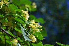 Linden blossom Stock Images