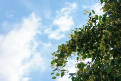Linden blossom background on the blue sky. Part of the longest linden alley in europe stock image
