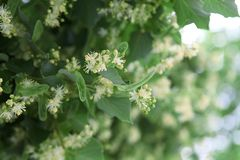 Linden blossomed in early summer. stock image
