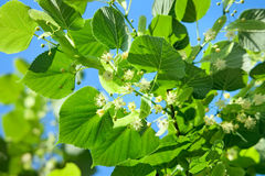 Linden blossoming Royalty Free Stock Photo