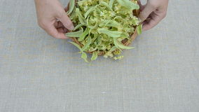 Linden blossoms harvest on linen cloth Royalty Free Stock Photography