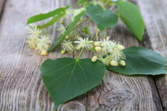 Linden blossoms Stock Photo