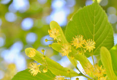 Linden blossoms at tree Royalty Free Stock Images