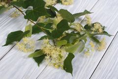 Linden blossoms on a wooden board Stock Photo