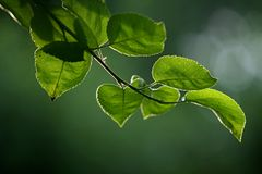 Linden branch. On a background of green nature, forest Stock Photos