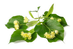 Linden branch. With flowers isolated on white background Stock Photo