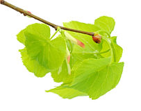 Linden branch with leaflets and bud Royalty Free Stock Photos