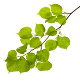 Linden branch with new leaves Royalty Free Stock Images