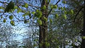 Linden branch twig with young leaves and buds in spring time. 4K stock footage