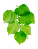 Linden branch with young green leaves. Linden branch with green leaves isolated on a white background Stock Images
