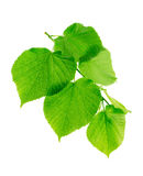 Linden branch with young green leaves. Linden branch with green leaves isolated on a white background Stock Photo