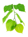 Linden branch with young green leaves. Linden branch with green leaves isolated on a white background Stock Image