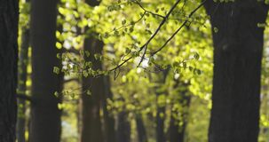 Linden branch with young leaves sways on wind. Wide photo Royalty Free Stock Photos