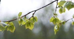 Linden branch with young leaves sways on wind. Wide photo Stock Photography