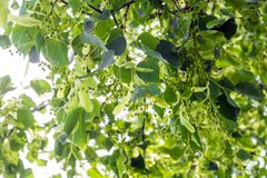 Linden branches at the beginning of flowering against the blue sky stock photography