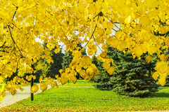 Linden branches with yellow autumn leaves backlit Stock Photos