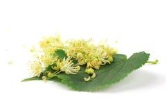 Linden bud, Tilia cordata. Tilia cordata (linden buds, flower, leaf) on white background with shadow Stock Images