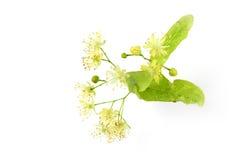 Linden bud, Tilia cordata. Tilia cordata (linden buds, flower, leaves) on white background Stock Images