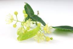 Linden bud, Tilia cordata. Tilia cordata (linden buds, flower, leaves) on white background with shadow Stock Image
