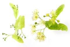 Linden bud, Tilia cordata flower, buds Stock Photos