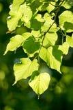 Linden, cal Pequeno-com folhas Imagem de Stock