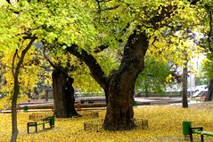 Linden in Chisinau. Landscape in the Central Park in Chisinau. Linden blossom. Nice tree in autumn Royalty Free Stock Photos