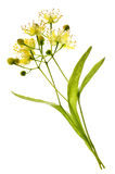 Linden flower. Isolated image of yellow linden flower and branch Stock Image