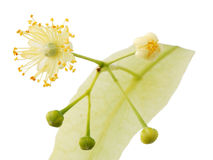 Linden flower Royalty Free Stock Photography