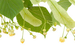 Linden flower Royalty Free Stock Images