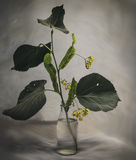 Linden Flower. S with a leaves in a vase Stock Photography
