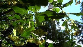 Linden flower  tree in the sun Royalty Free Stock Image