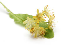 Linden Flower Royalty Free Stock Photos