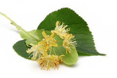 Linden Flower Stock Photo