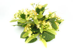 Linden flowers. Isolated on white background Royalty Free Stock Image