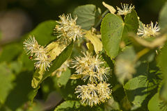 Linden flowers. Branch of the linden (Tilia cordiata) with flowers Royalty Free Stock Photography