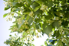 Linden flowers. Details of the flowering of a linden tree in spring Stock Images