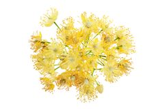 Linden flowers branch isolated on white background. Linden flowers branch isolated on white background stock photo