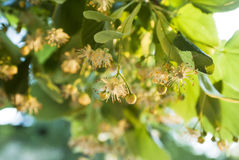 Linden flowers Stock Images