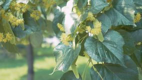 Linden flowers on green branches. Summer flowering season. Aromatherapy and green lime tea. Slow motion stock footage