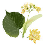 Linden flowers. Hand drawn vector illustration of linden flowers, source of delicious honey and a fragrant herbal tea ingredient, on transparent background Royalty Free Stock Images