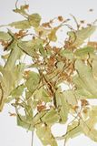 Linden flowers. Herbal medicine. Dry linden flowers on white background. Basswood tree. royalty free stock photography